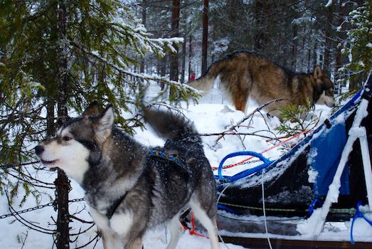 Laponie Finlandaise avec Woltrail